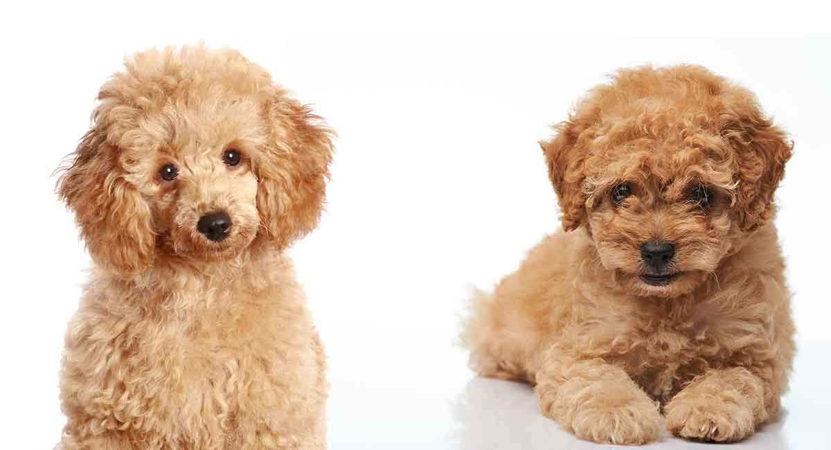 AKC Poodle Puppies For Sale